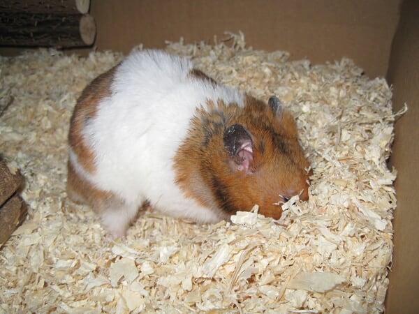 Routine für den Hamster
