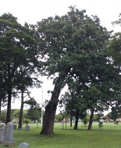 Large Post Oak Tree