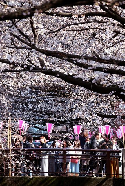 春天突然來臨 東京·目黑川櫻花已開3分:朝日新聞中文網
