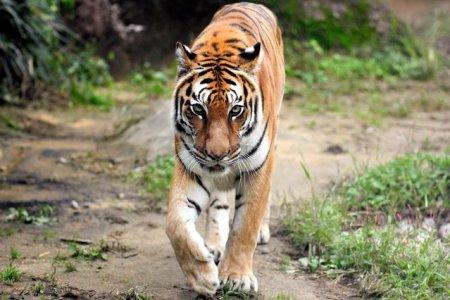 「いしかわ動物園で高齢のトラ死ぬ」の画像検索結果