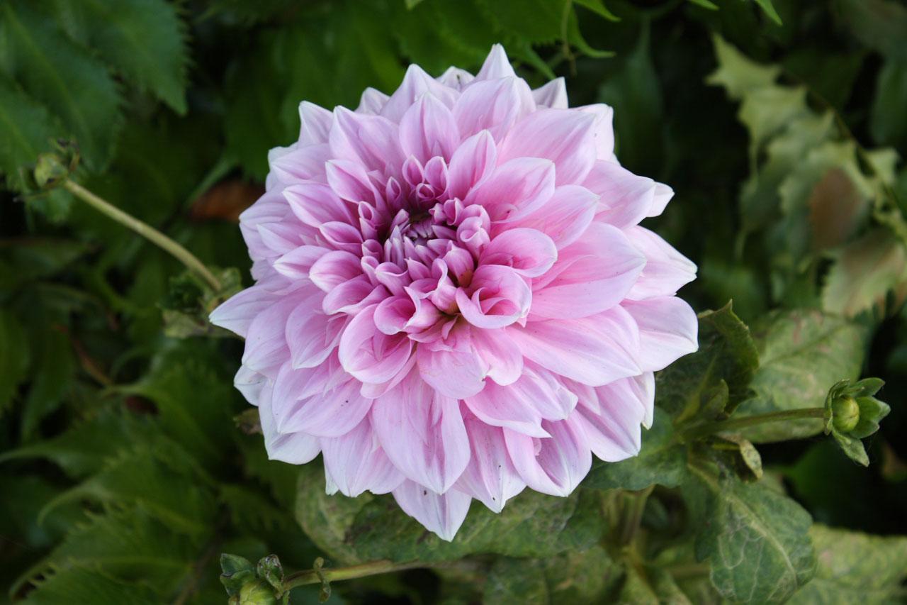 Purplepink Flower Bloom Free Stock Photo  Public Domain
