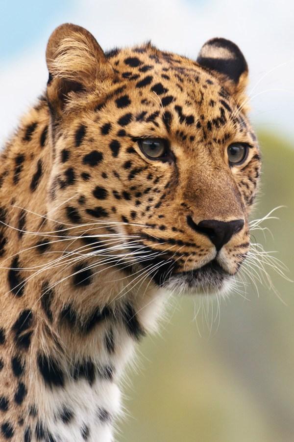 Leopard' Head Free Stock - Public Domain
