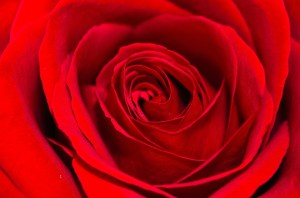 background images with roses 7