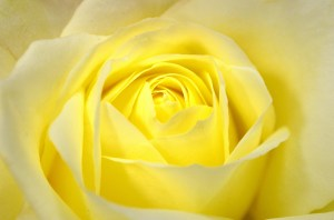 rose background yellow roses macro flower flowers nature plants kuning higher self allowing five four series holidays spring wallpapertag domain