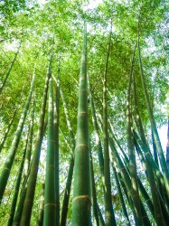 Bamboo Forest Background Free Stock Photo Public Domain Pictures