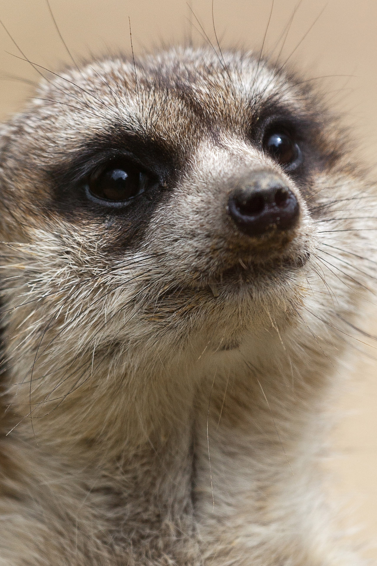 Cute Wallpaper Meerkat Portrait Free Stock Photo Public Domain Pictures
