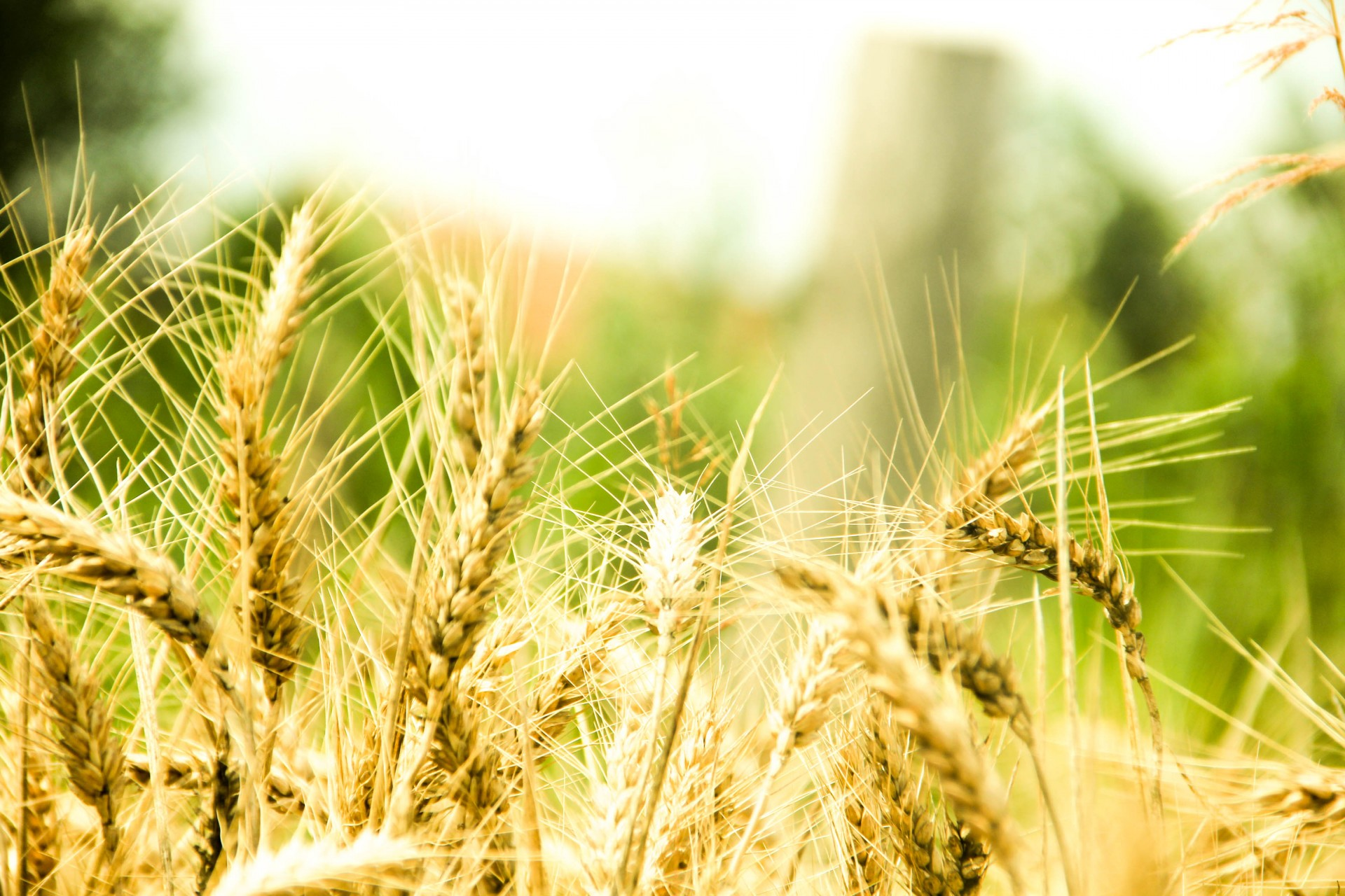 Wheat Ears Free Stock Photo  Public Domain Pictures