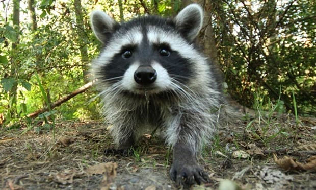 Raccoon latrines: Yes, they're a thing, and they are as gross as they sound