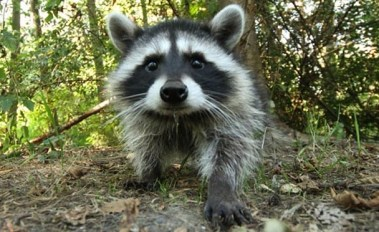 Raccoons are cute. Their latrines? Not so much.
