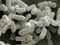 listeria_monocytogenes