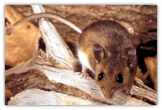 deer-mouse