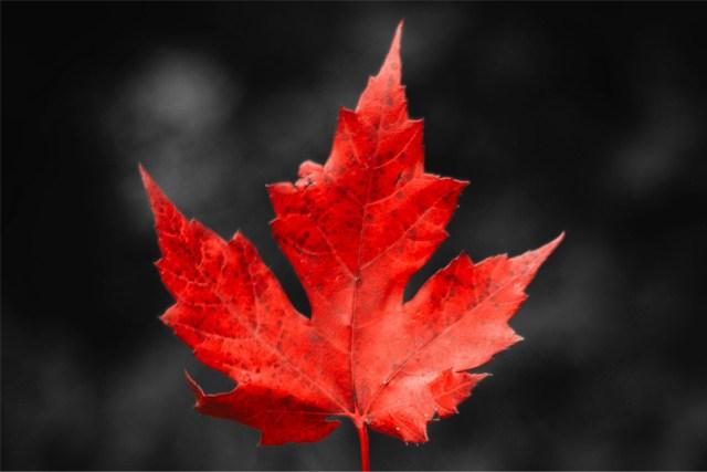 Maple leaf in focus