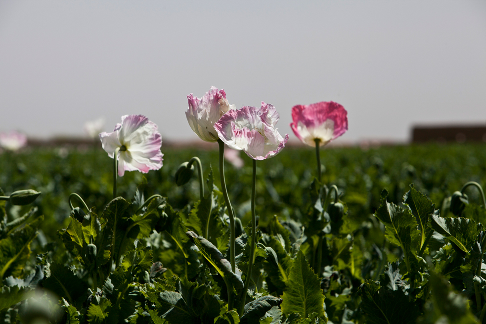 U.S. Occupation Leads to All Time High Afghan Opium Production opium fields 3