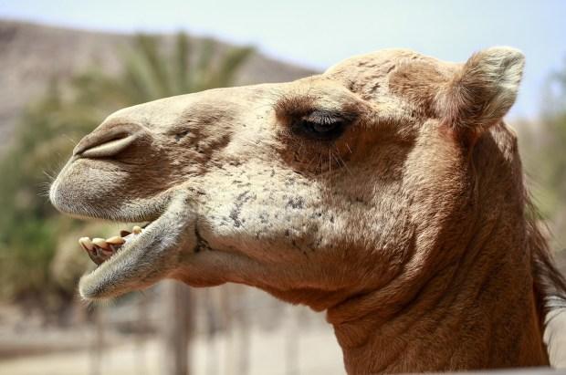 Headshot of a camel