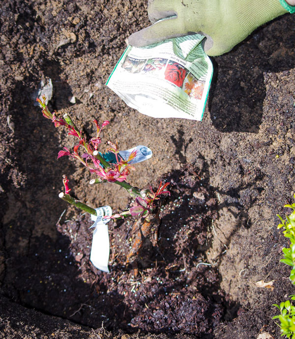 Roseplanting_24_
