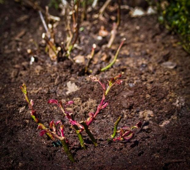 Slik planter du roser_10
