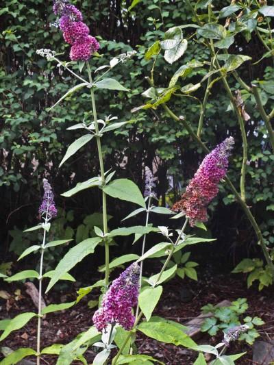 Denne typen plantet jeg i hagen min her i Oslo i fjor. Jeg er spent på om den overlevde. Hvis ikke skal jeg forsøke igjen!