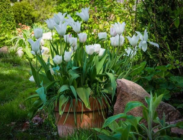 Krukke tulipan_