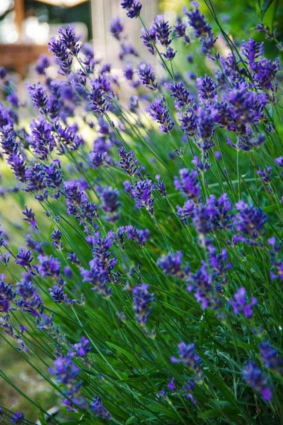 Lavendelklipp_