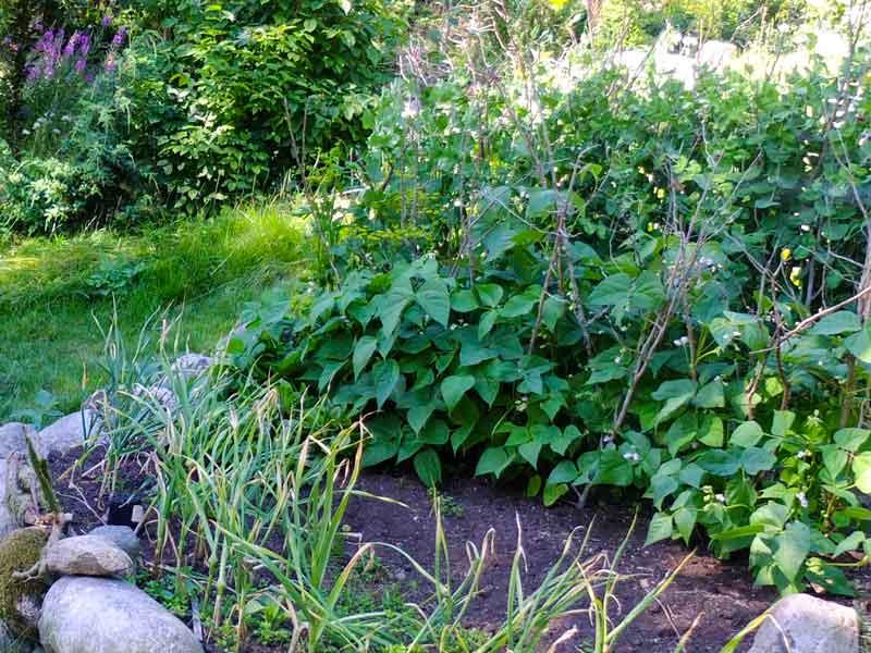 Lave aspargesbønner_