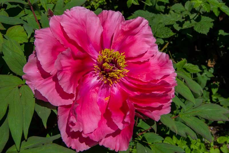 Trepion blomst_
