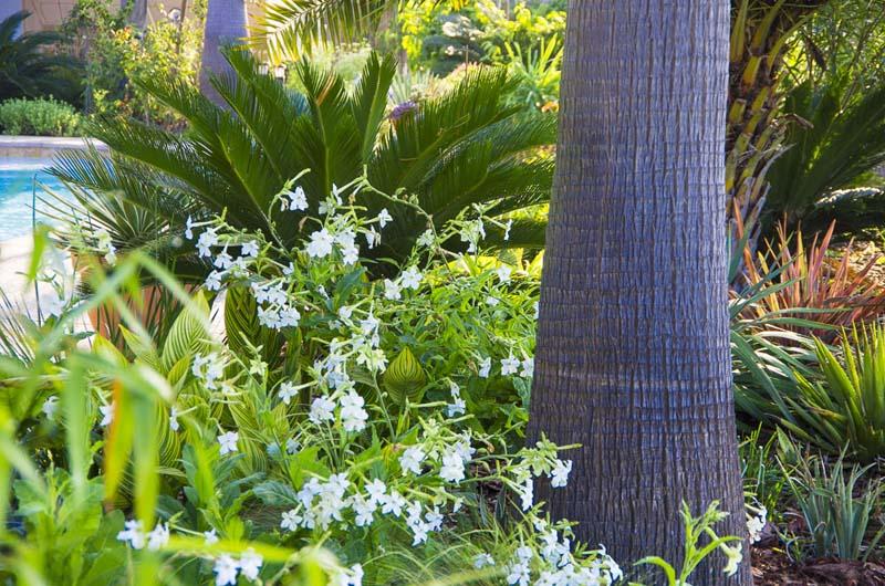 Nicotiania and palm_