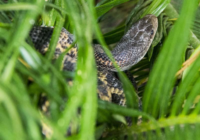 Rat snake_