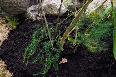 Asparagus mulched_