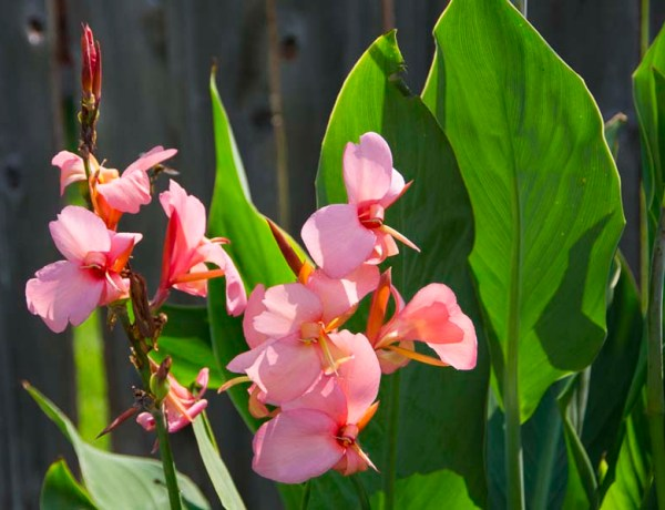 Canna for spring_20_