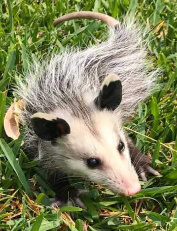 opossum plays dead23_