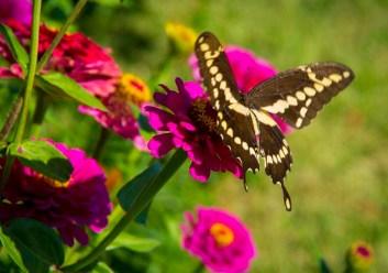 Giant Swallowtail_