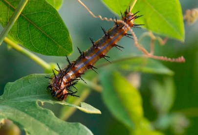 Here is the Gulf Fritillary caterpillar. Basking in my passionfruit climber.