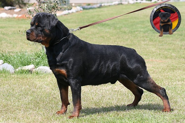 Harness For Rottweiler