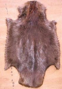 Beaver skin © Kuerschner | Wikimedia Commons