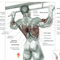Pull Up Muscles Worked Diagram Horn Wiring With Relay Uwo Fitness Ups