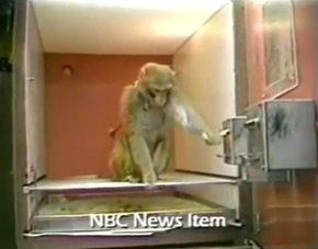 To jest Cecil, ośmioletnia małpa, która jest uzależniona od kokainy.