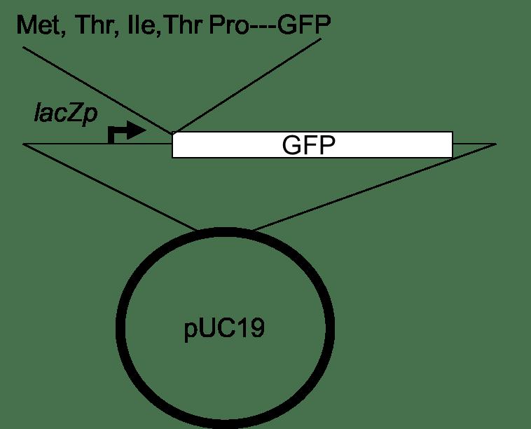 Bar-Coded Enterobacteria: An Undergraduate Microbial
