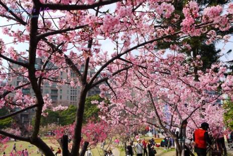 【遊記-新竹】新竹市免費賞櫻景點《新竹公園櫻花祭》玻工館河津櫻