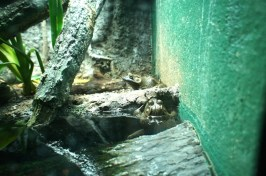 Bullfrogs!