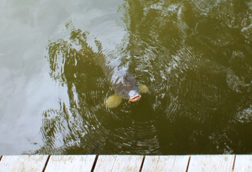 Carp, hoping to be fed