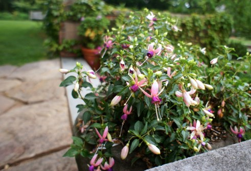 Pale and polychromatic fuchsias