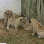...and three of his four cubs!