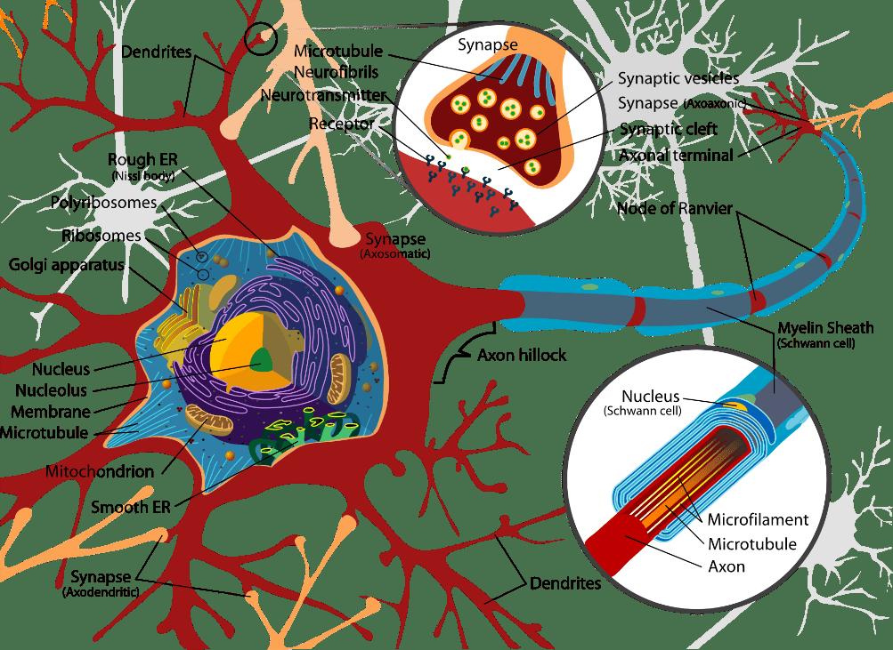neurona.png