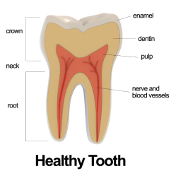 Diagram Of Teeth And Their Numbers Wiring For Household Electricity Related Keywords - Long Tail Keywordsking