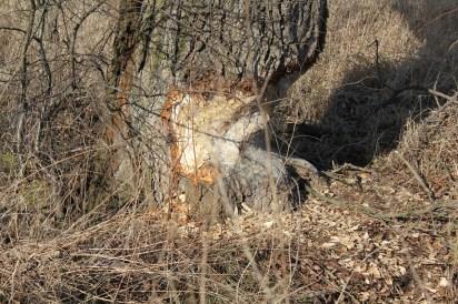 Nie ma zdjęcia wydry, ale jest dowód na obecność bobrów. Coś mi chodzi po głowie, że skoro są bobry powinno być tu w miarę czysto. Na razie.
