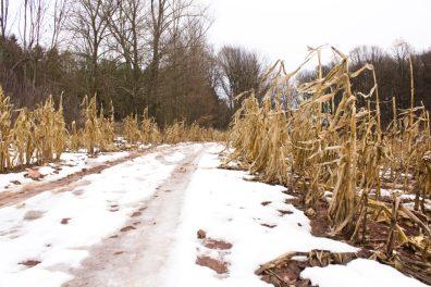błotniste pole kukurydzy z blotkiem w kolorze potoku