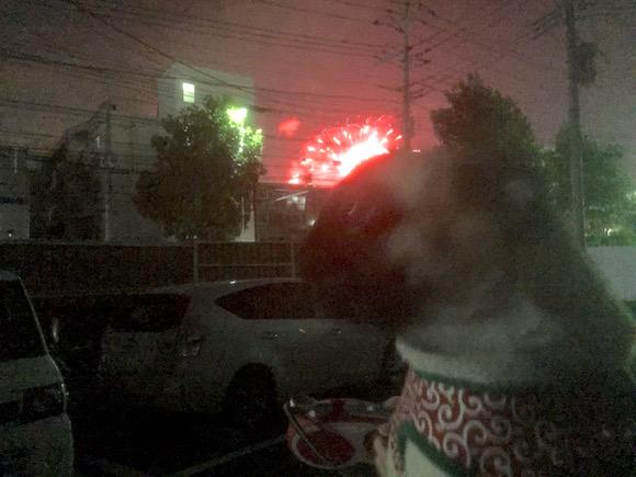 花火を見るパグ