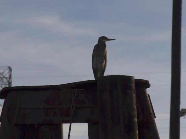 A heron perches on top of a piling.