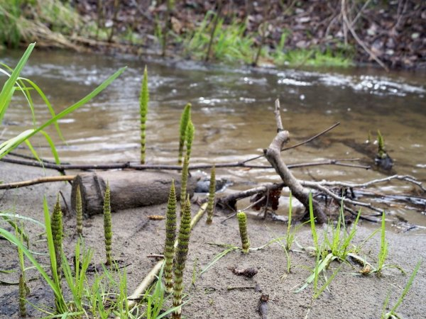 Horsetail fern grows along the banks of a local creek in the Puget Sound watershed.