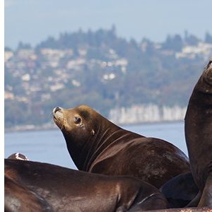 The GiveBIG logo overlaid on an image of sea lions on a buoy in Puget Sound.